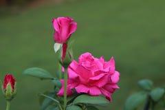 Donkere roze rozen Royalty-vrije Stock Foto's