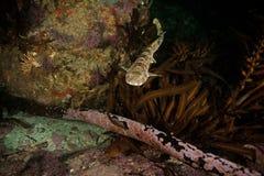 Donkere shyshark, haploblepharuspictus, kogelvishaai, Zuid-Afrika Royalty-vrije Stock Foto's