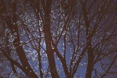 Donkere takken met sneeuw in zonsondergang, de fotografie van de de winteraard Stock Afbeelding