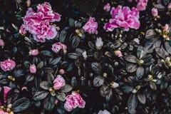 Donkere Uitstekende Bloemachtergrond Het roze Behang van de Azaleabloem stock fotografie