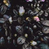 Donkere Uitstekende Bloemachtergrond Het roze Behang van de Azaleabloem stock afbeeldingen