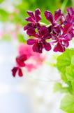 Donkere violette geranium royalty-vrije stock foto's