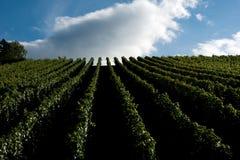Donkere wijnstok Stock Afbeeldingen