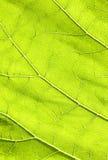 Donkergroen blad. Stock Foto