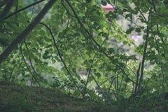 donkergroen gebladerte in de zomerlicht voor achtergronden of texturen - de uitstekende retro film ziet eruit royalty-vrije stock foto