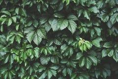 Donkergroen gebladerte, Groene bladerenachtergrond, patroon, textuur Stock Fotografie