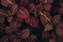 Donkergroene bladeren met rode viens Royalty-vrije Stock Fotografie