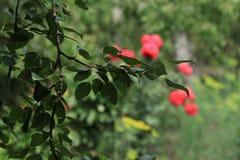 Donkergroene bladeren op een tak Royalty-vrije Stock Foto's