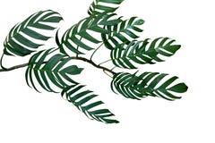 Donkergroene bladeren van de installatie van Monstera philodendron het groeien in wildernis Royalty-vrije Stock Foto