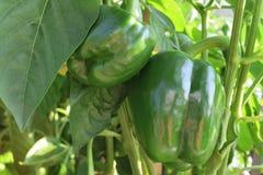 Donkergroene rijpe groene paprika twee op de tak Stock Afbeeldingen