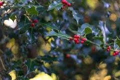 Donkergroene struik met rode vruchten Royalty-vrije Stock Afbeeldingen