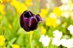 Donkerpaarse Tulp Stock Afbeelding