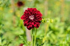 Donkerrode bloem die in tuin vooraanzicht bloeien Royalty-vrije Stock Afbeelding