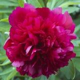 Donkerrode bloem van een pioen Royalty-vrije Stock Afbeelding
