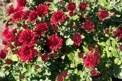 Donkerrode bloemen van Chrysant in de herfst Stock Afbeelding