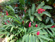Donkerrode bloemen van Thais kruid Stock Fotografie