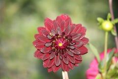 Donkerrode dahlia Royalty-vrije Stock Afbeeldingen