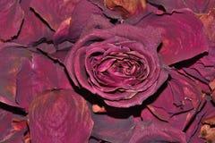 Donkerrode droog nam bloem op droge geurige bloemblaadjesachtergrond toe Stock Afbeeldingen