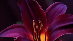 Donkerrode Lily Blossom Outdoors Stock Afbeeldingen