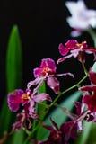 Donkerrode miltonia van de kleurenorchidee op een zwarte achtergrond Royalty-vrije Stock Afbeelding