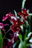 Donkerrode miltonia van de kleurenorchidee op een zwarte achtergrond Stock Afbeelding