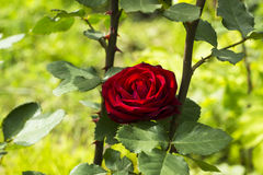 Donkerrode scharlaken nam in de zomertuin toe Stock Afbeelding