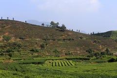 Donkerrood op de berg van keurig geplant met theeboom Stock Foto's