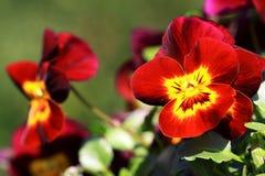 Donkerrood viooltje met geel hart Stock Afbeelding