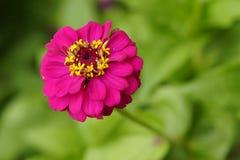 Donkerroze bloem Stock Foto