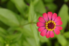 Donkerroze bloem Royalty-vrije Stock Foto's