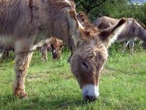 Donkey 07 Stock Images