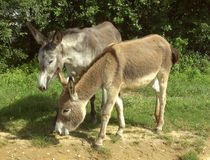 Donkey 10 Royalty Free Stock Images