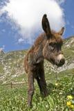 Donkey Royalty Free Stock Image