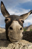 Donkey. A donkey looking at the camera royalty free stock images
