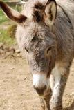 Donkey. With long ears in captivity Royalty Free Stock Photos