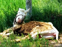 Donkey. There is a lovely donkey lying dwon in the grass Leisurely Stock Images