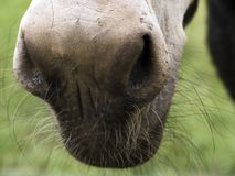 Donkey. A donkey's nose in close-up Stock Images