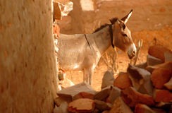 Donkey. At the Sahara desert in Mauritania Royalty Free Stock Image