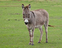 Free Donkey Royalty Free Stock Photo - 12691085