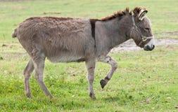 Donkey. A little grey donkey walking in the open field Stock Images