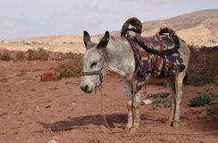 Donkey. In Petra area, UNESCO, Jordan, Middle East Royalty Free Stock Images