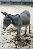 Donkey. A donkey in its stable in Devon Royalty Free Stock Images