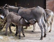 Donkey. Small donkey is drinking mother's milk stock photos