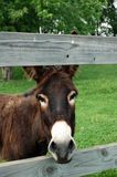 Donkey. A donkey looking through a fence stock photography