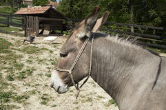 Donkey. On a little farm Stock Photo