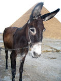 Donkey. Close-up photo of a Donkey on a tether Stock Photography