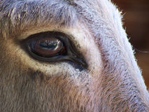 DONKEY. ADVISED CLOSE ON NAME OF A DONKEY WITH LARGE BROWN EYES royalty free stock photo