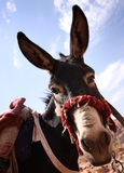 Donkey. A donkey face with long ears royalty free stock images