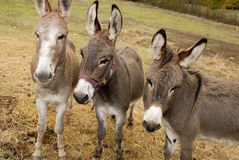 Donkey. Three grey donkey in a montain farm Stock Photos