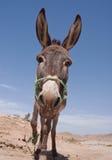 Donkey. Portrait of a donkey, Tunisia Stock Images